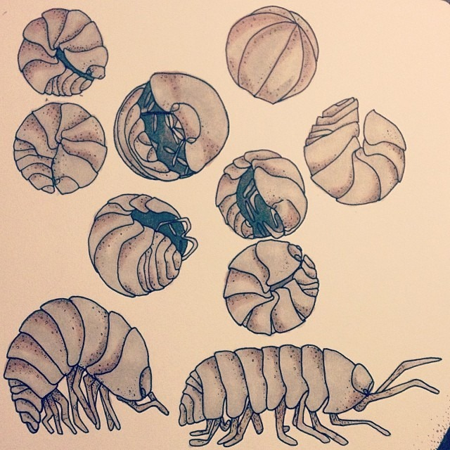 Well, Photoshop has poop'd out on my laptop, so I won't be able to post my finished Peacock Spider print until after Wednesday when MY NEW COMPUTER COMES IN! But until then…   Armadillidiidae   or you may know them as, pillbugs, pill millipede, woodlouses, or personally, roly polies; are more than just skittish bugs turn pebbles when poked. These bottom dwellers are important decomposers, who never urinate and who always recycle their own poop (by eating it) to replenish their dispelled copper, which is a vital element to their survival. They turn blue when sick, carry their young in pouches, and breathe through gills. GILLS. Which leads me to why I think they're so interesting; roly pollies are not insects or bugs at all, they're crustaceans! Crustaceans who don't and can't survive in water.  Armadillidiidae are sea creatures forever banished to land! Or better yet, they are crustaceans who said forget the sea, I'm moving on up! Finally, getting a piece of that pie.   Or as J Dilla dilla dilla dilla might prefer  DONUTS .