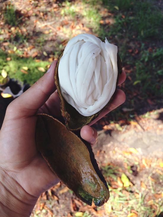 avocado pod