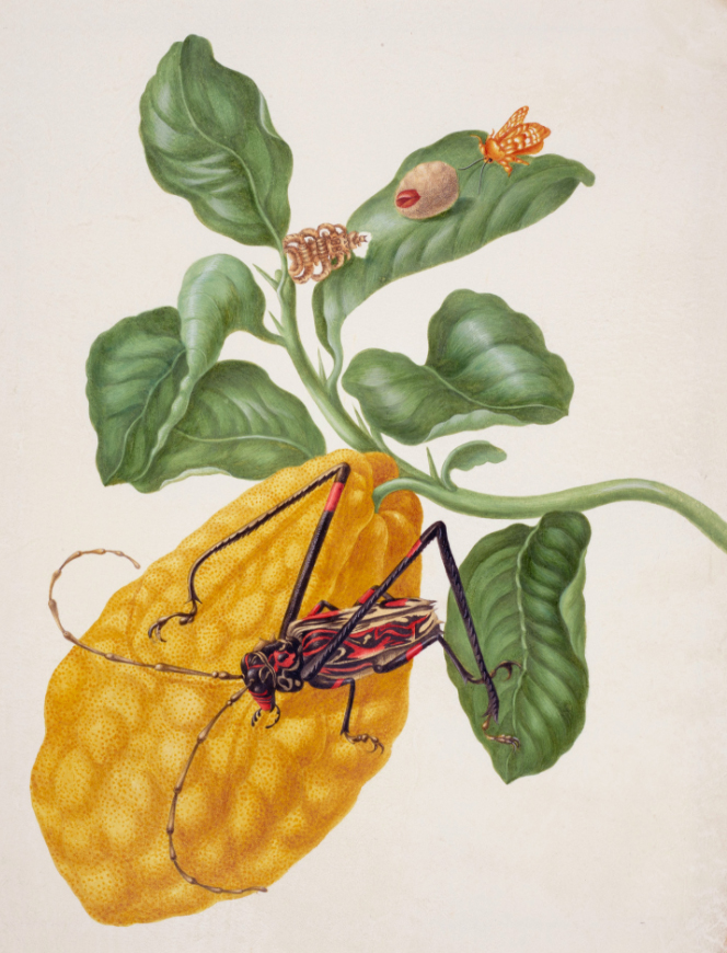 merian_Citron with Monkey Slug Moth and Harlequin Beetle.jpg
