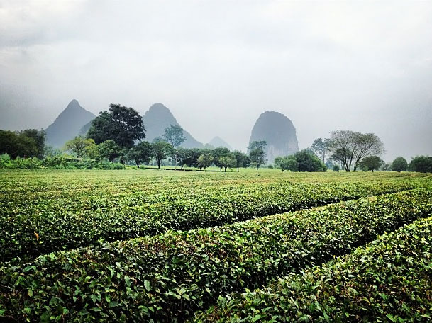 Tea Field, China, 2012