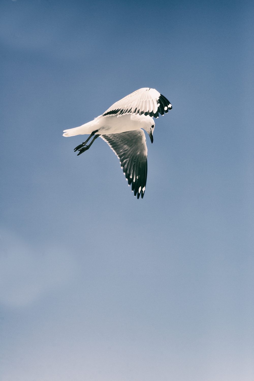 Seagull-flight1.jpg