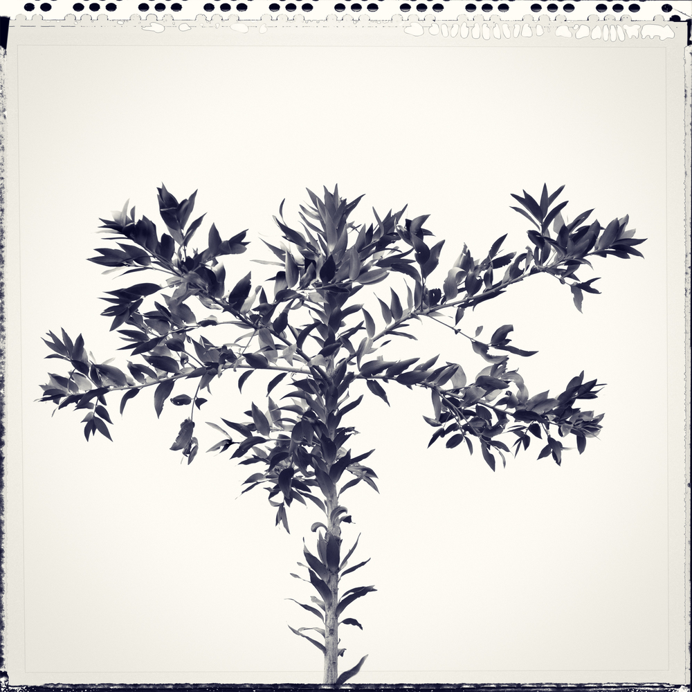 Tree-1sq split indigo pola1.jpg