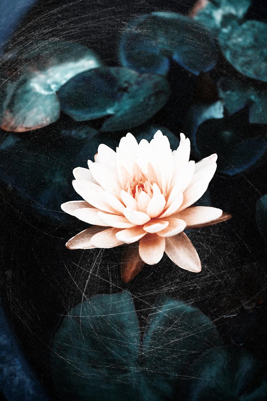 lotus1a.jpg