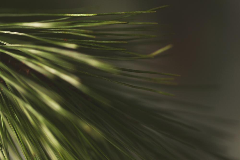 Pine_ClosUp.jpg