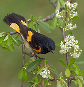 American Redstart, from the Houston Audobon.