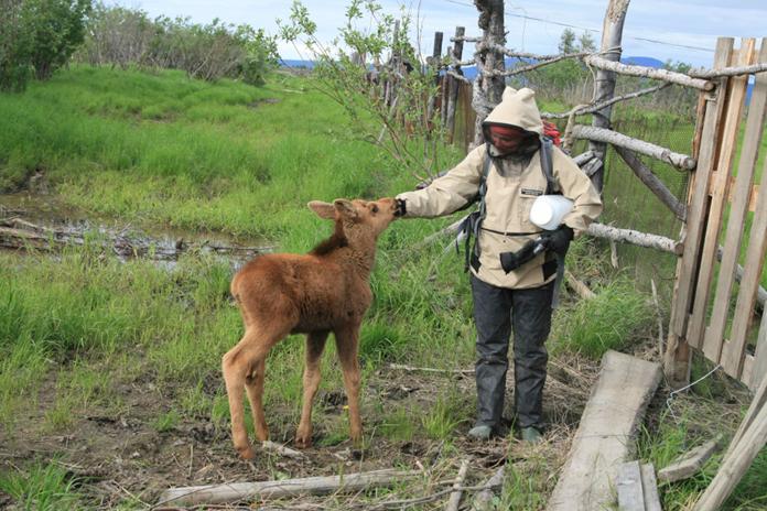 Baby moose at Pleistocene Park