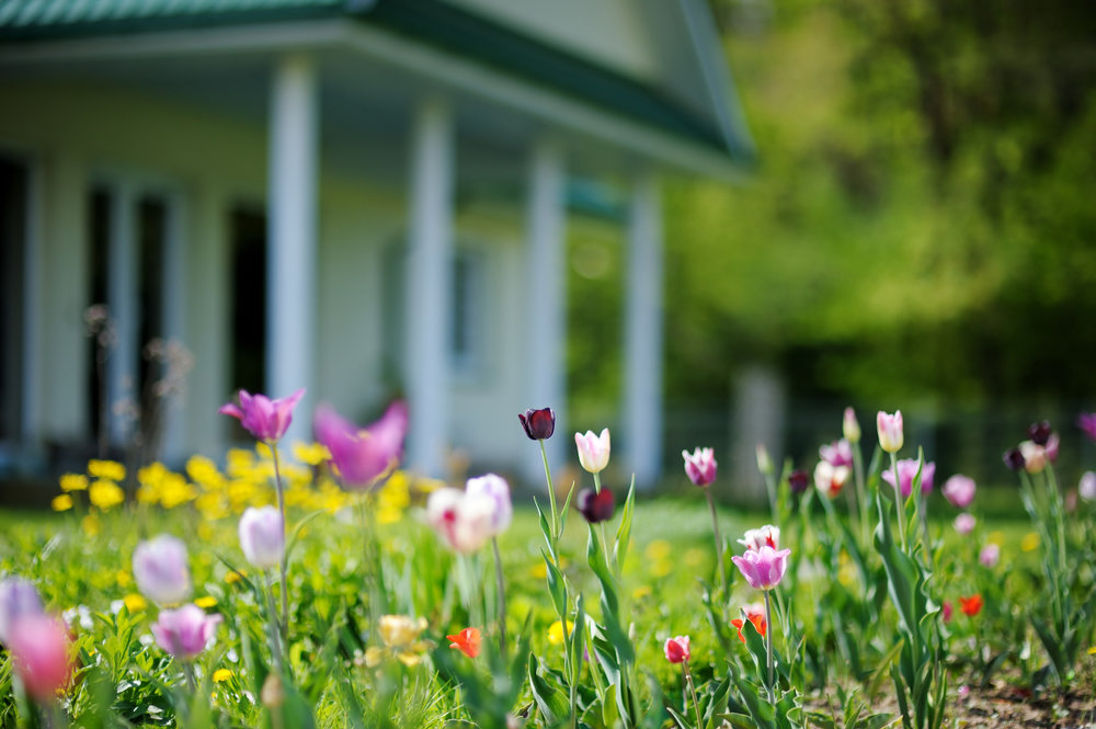 Beautiful colorful tulips in front of a house