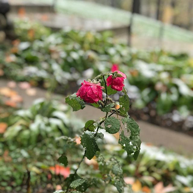Finding remnants of a beautiful summer past, even on this wintry day. #firstsnowfall #minnesota #rose #madhatteranoka