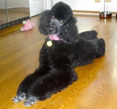 standard-poodles-simone-fashionado