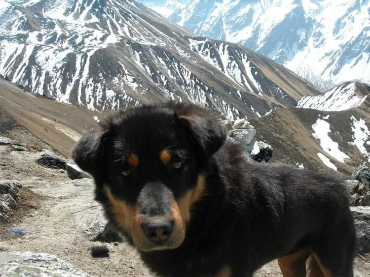A young Tibetan Mastiff at the Ganjala pass in Langtang.