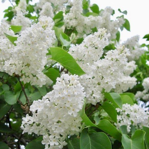 Heavenly scented lilacs....💗