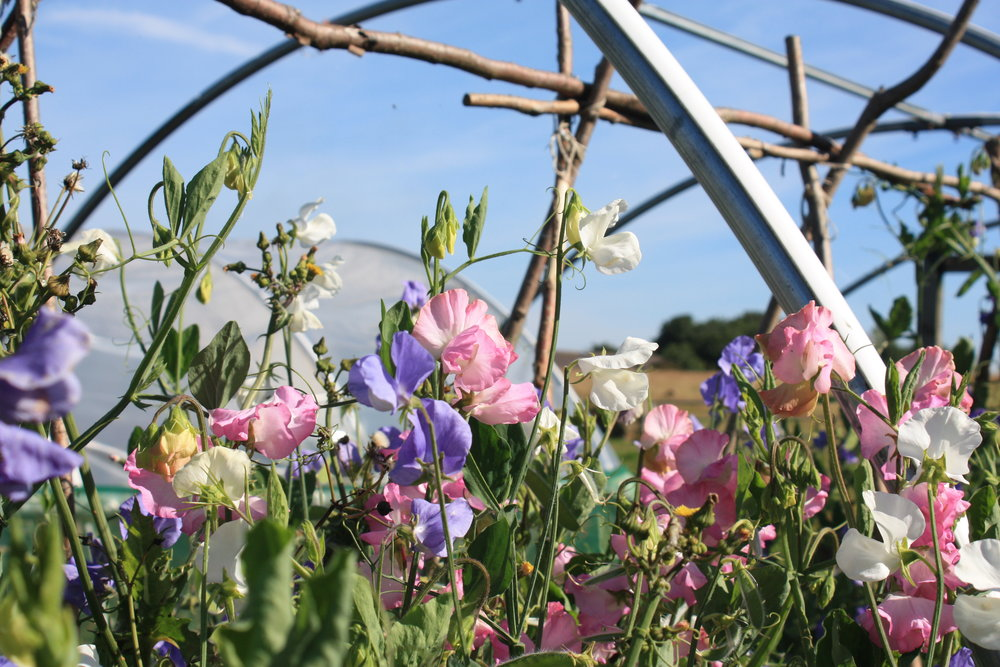 A glut of Sweet Peas at Verde (August 2017)