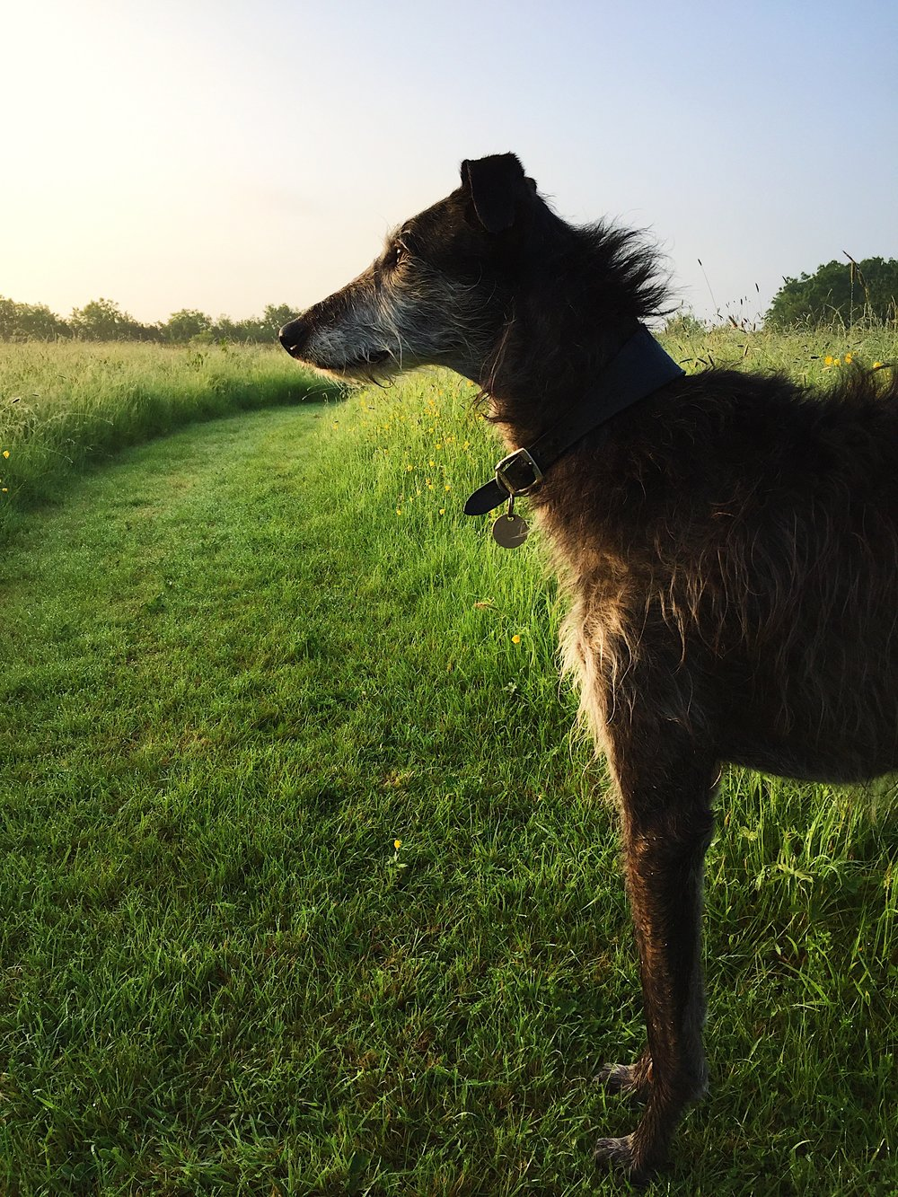 LUNA - Our deerhound, resident rabbit catcher and flaneur. To be found in all weathers accompanying Caroline out in the field or (occasionally) at a wedding.