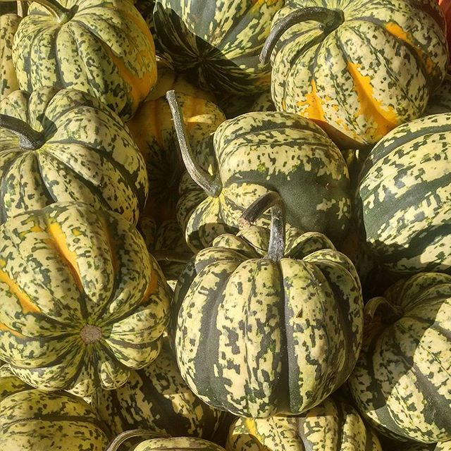 T'is this season once again  Pumpkins, gourds, green, white or red  Don't they look like cute aliens?  Plants from another planet  #pumpkins #pickingpumpkins #gourdseason #pumpkinseason