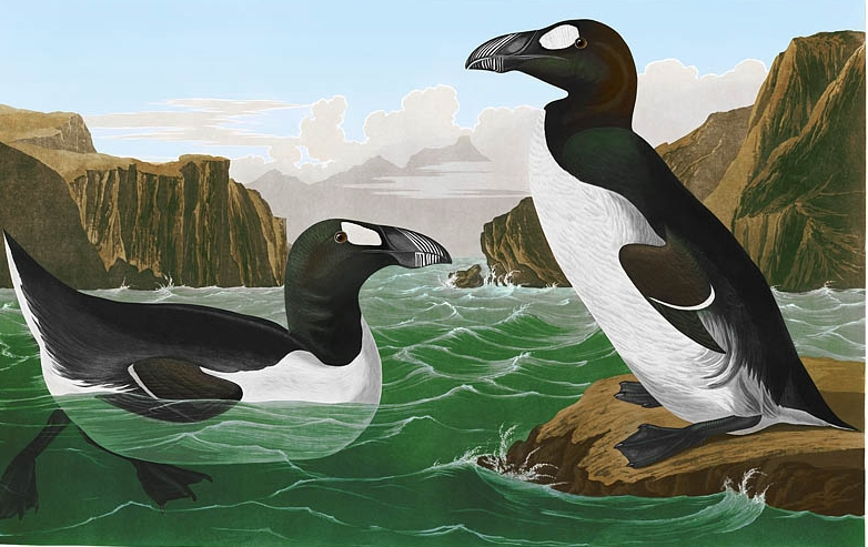 The Great auk, as painted in the world's most expensive book, The Birds of America by John James Audubon. It went extinct in the mid-19th century.