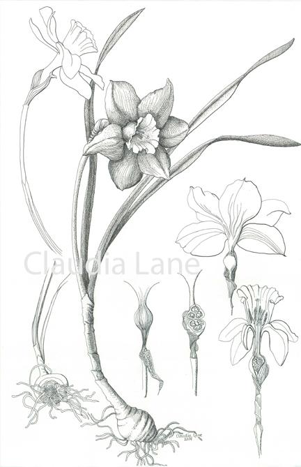 Orchid Scientific Drawing Scientific Illustration