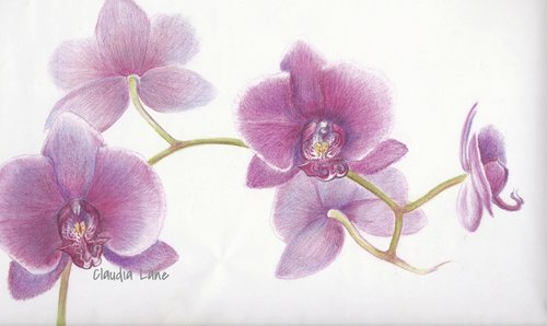 Orchid Tree Drawing Orchid Colored Pencil