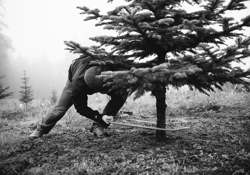 christmas_tree_cutting_57.jpg
