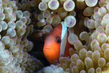 "Peter Pinkerton  Anemone Fish              Photography on canvas 25""x 36""  Price $300"