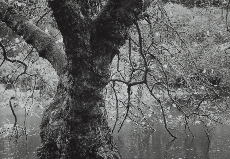 "Wendy Hasting ,  ""Tree of life - Golden Gate Park""  Gelatin Silver Print  ,  $400"