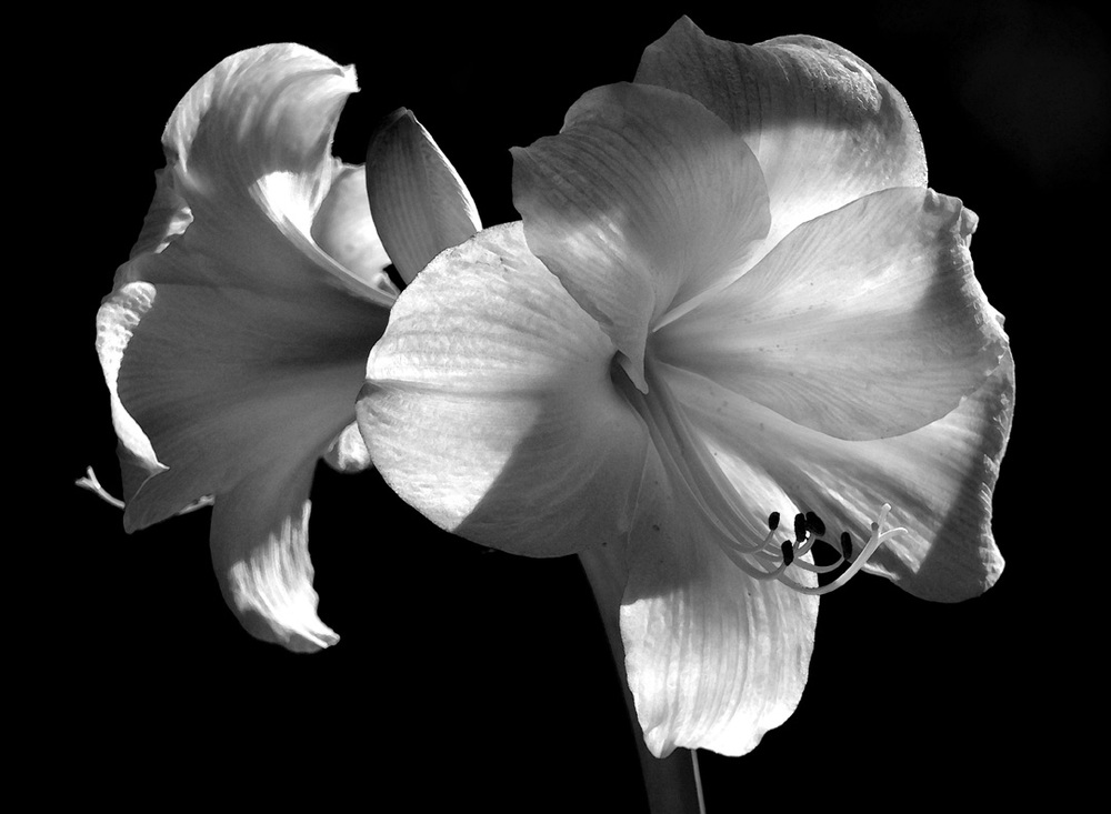 Mary Reakes,  Amaryllis Series,                         Digital Photography,    $250 or 3 for $600