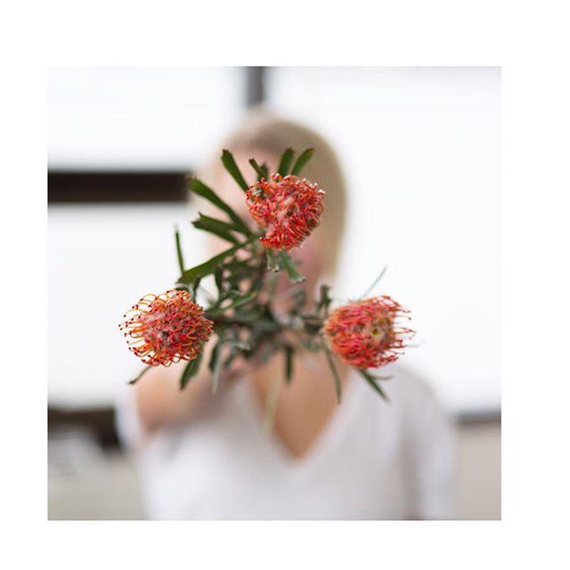 pincushion protea are 🔥✨