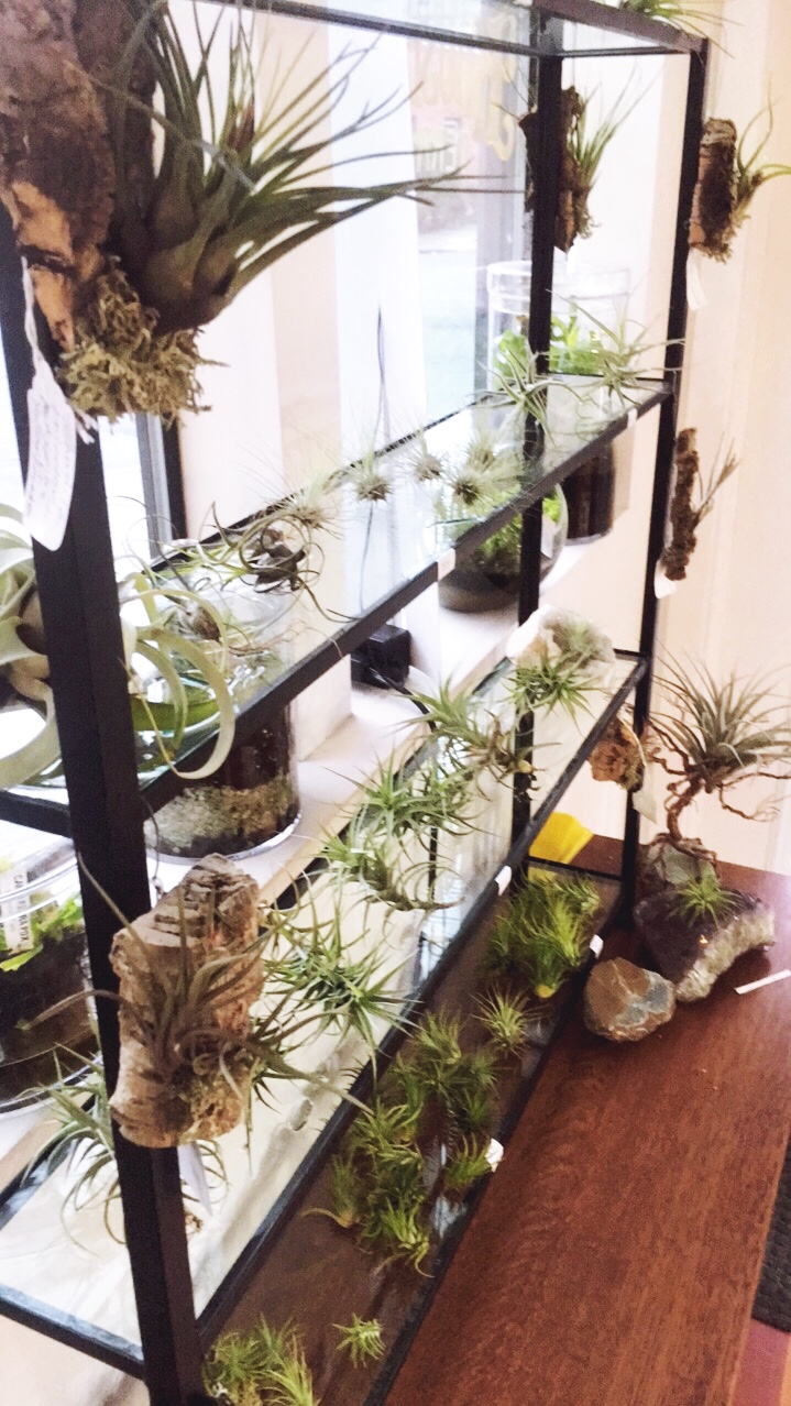 New Tillandsia inventory and display! .jpg