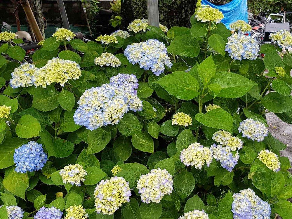 Ajisai hydrangeas starting to bloom