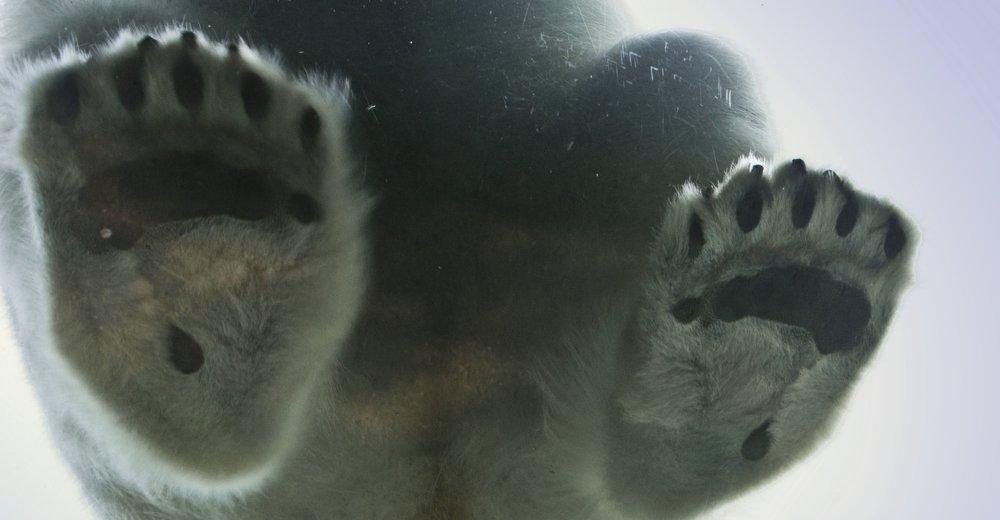 BIO-MIMICRY - THE POLAR BEAR