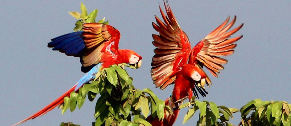 scarlet-macaws-bird-watching-manoas-luxury-camping-glamping.jpg