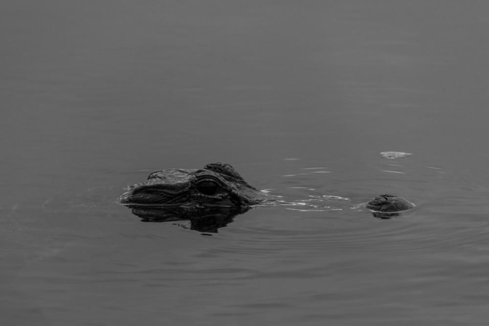Gator3.jpg