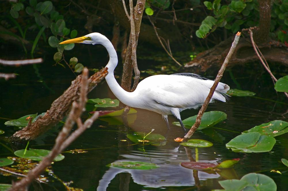 Great White Heron.jpg