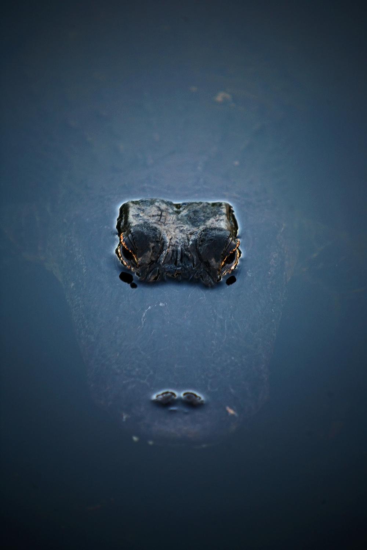 Gator Face.jpg