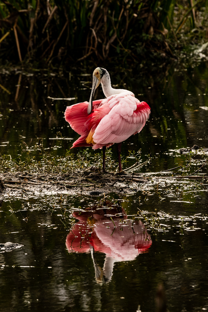 Roseate Spoonbill (Photo courtesy of Bob Richardson)