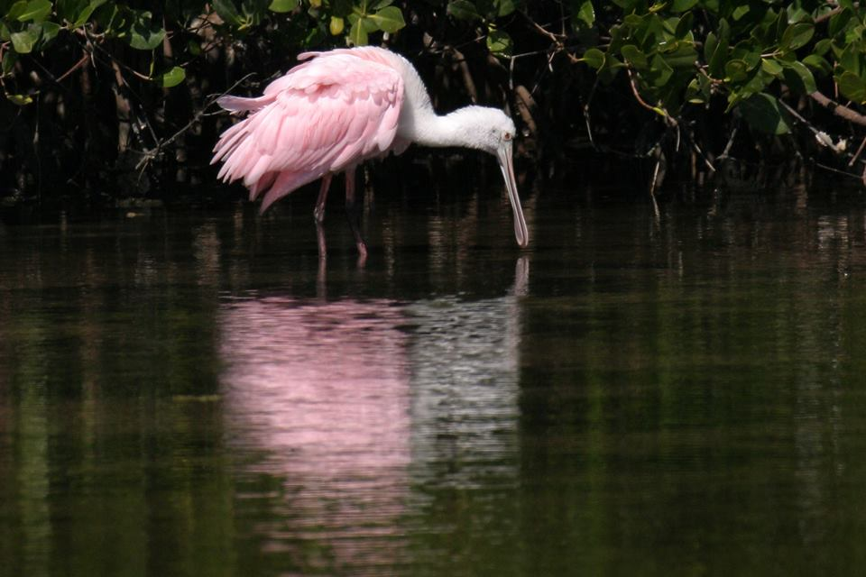 Roseate Spoonbill Courtesy of Everglades National Park Service, Rodney Camauf