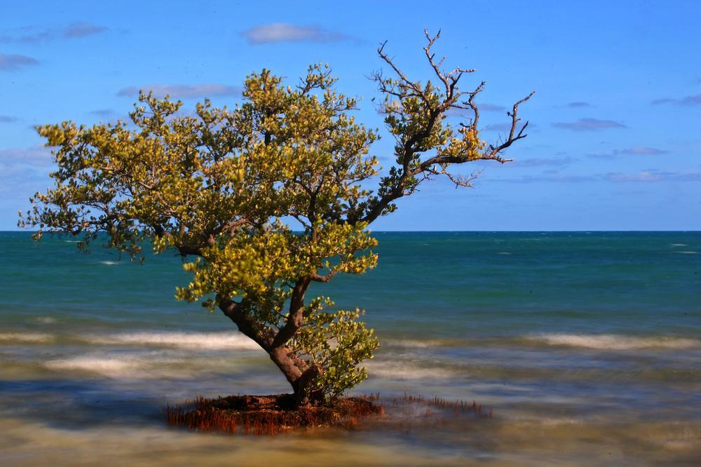 Black Mangrove.jpg
