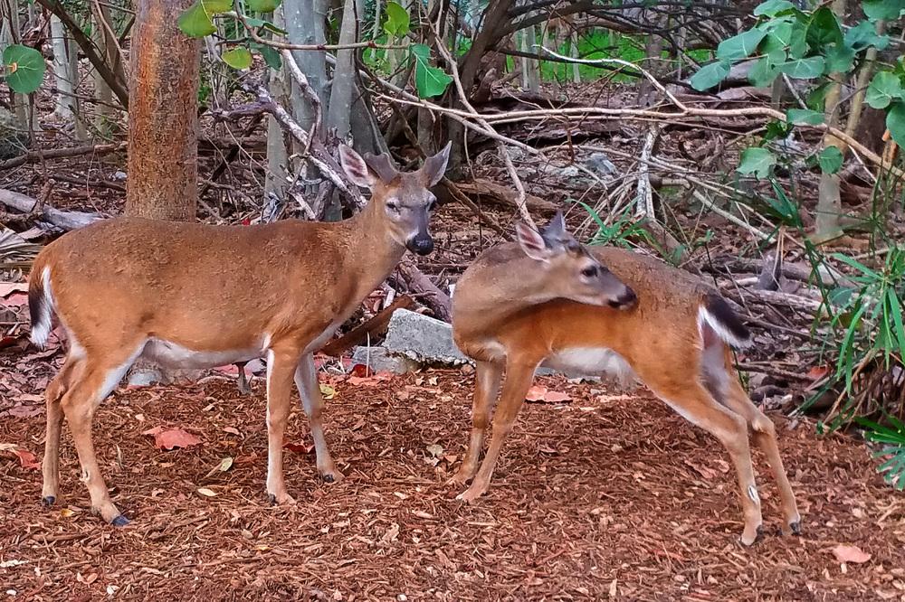 Key Deer.jpg