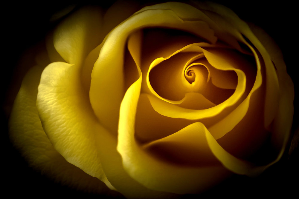1st Place - Yellow Rose by Ernesto Rodriguez-Corria