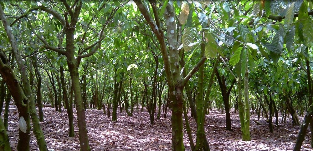 Cocoa plantation2.jpg