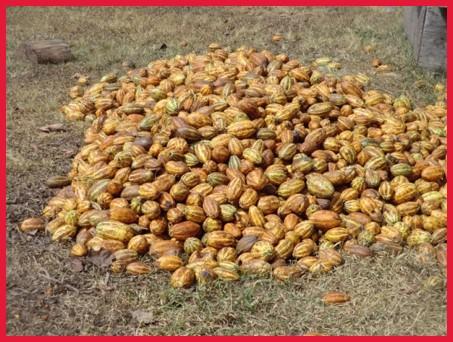 Cocoa bean pods.jpg