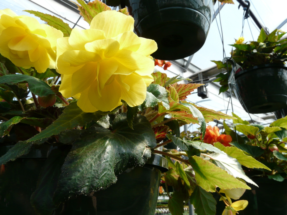 Yellow Non-Stop Begonia Hanging Basket