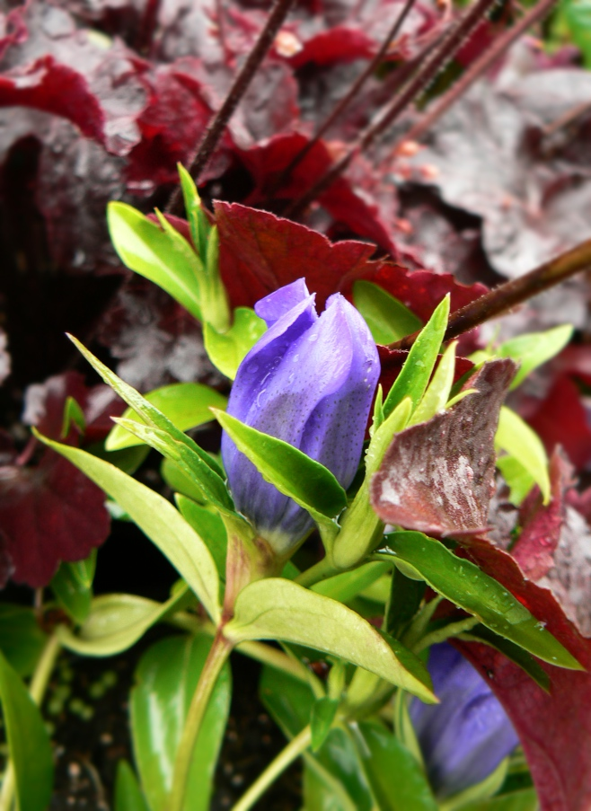 "Gentian ""True Blue"" and Heuchera ""Obsidian"" are a beautiful summer perennial pairing for your garden!"