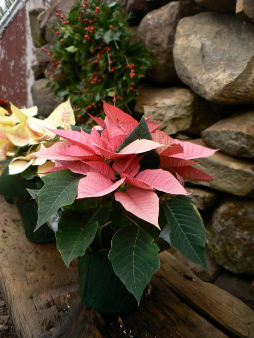 "4.5"" Poinsettias in pink, marble, and white. Other colors available include red, white, and varigated red and white 'jinglebells'. We also have 6.5"" and 8"" in all of these colors."