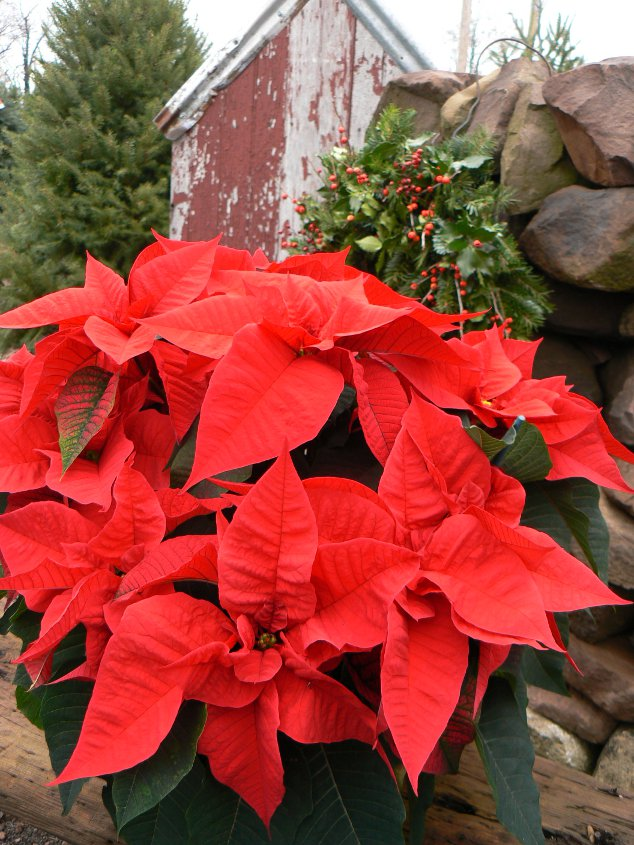 "A 10"" poinsettia in red. The greenhouse at Kirby's is a beautiful place to visit in Decemeber, with gorgeous, brilliant color from wall to wall."