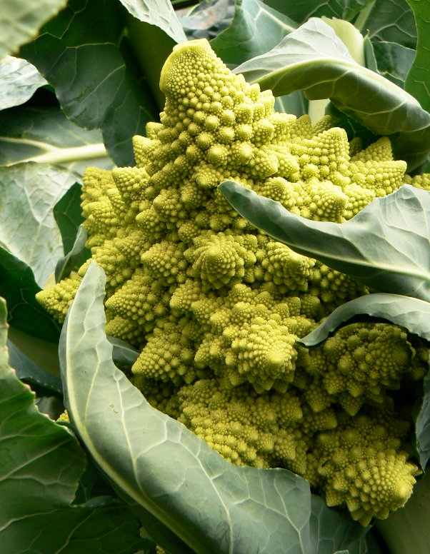 Fresh picked Romanesco, the perfect Christmas vegetable!