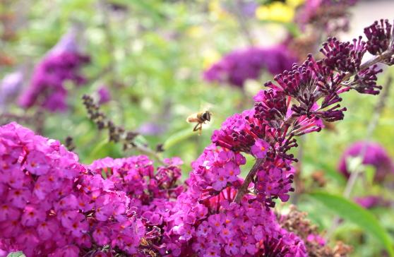 buddleiabee