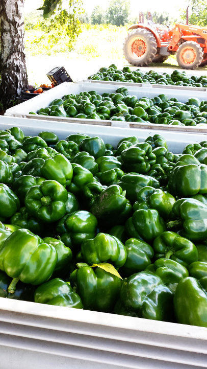 60 bushels of fresh green peppers wait to be taken to our short-term storage facility.