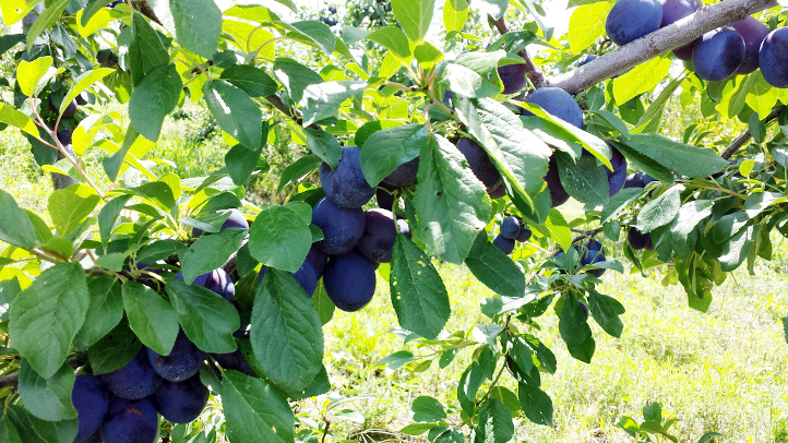 Castleton Prunes (a type of plum) will be ready to harvest in about a week.