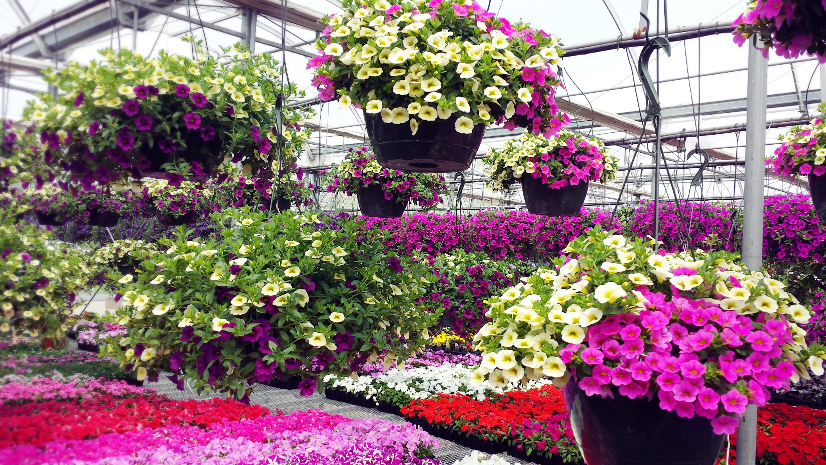 Hanging baskets kirbys farm market superbells tolerate sun or part sun and come in a variety of colors including red purple grape punch white pink light pink orange and yellow mightylinksfo