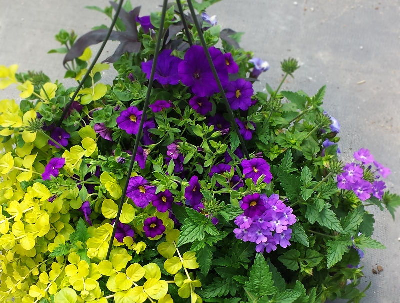 Mixed Hanging Basket, Purple